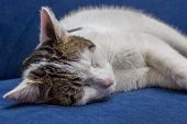 White Gray Cat Sleeping On A Blue Couch