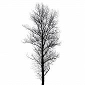 Leafless Poplar Tree Silhouette Isolated On White