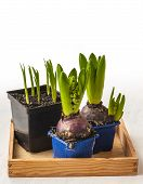 Hyacinths In Pots And Shoots Of Daffodils