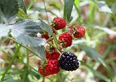 Blackberries On A Branch