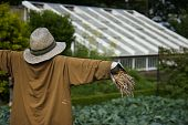 Scarecrow In Vegetable Patch