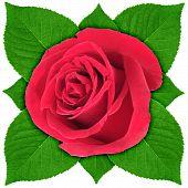 Een rode roos met groen blad