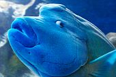 Humphead Wrasse Fish