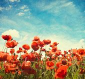Field of poppies   against blue sky with white clouds. Added paper texture