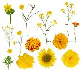 yellow flowers collection isolated on white background