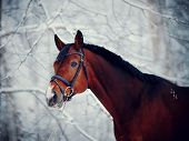Portrait Of A Sports Horse In The Winter.