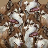 Grouping Of Siberian Huskies