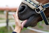 Muzzle Of Horse And Human Hand