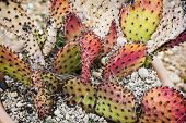 picture of peyote  - Opuntia cymochila in the flower pot - JPG