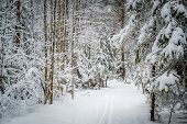 Winter pine forest path