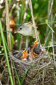 Marsh Warbler, Acrocephalus Palustris