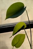 Anthurium Andreanum. House Plant Leaves Against The Window. On The Background Of Old Paper. Retro St