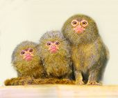 Portrait of funny family. The Pygmy Marmoset (Cebuella pygmaea). Picture with shallow DOF.