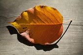 Autumn Leaf In The Sunlight