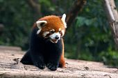 picture of panda bear  - Red panda bear  - JPG