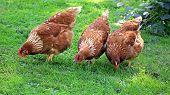 Three Brown Chicken Eating Grain And Grass