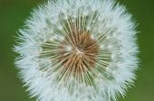 image of dandelion seed  - Dandelion getting ready to release its seeds - JPG