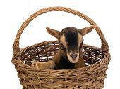 Young brown baby dwarf goat in a wicker basket