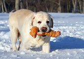 Yellow Labrador In Winter With A Toy Close