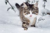 pic of snow forest  - A beautiful cat (Norwegian Forest Cat) in the winter snow.