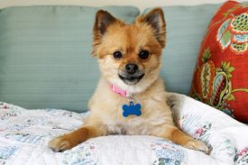 stock photo of toy dogs  - A beautiful pure breed Pomeranian Dog Smiles and plays with her favorite Squeaky toy - JPG