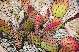 stock photo of peyote  - Opuntia cymochila in the flower pot - JPG