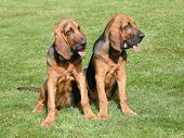 stock photo of bloodhound  - The portrait of pair of Bloodhound dogs in the garden
