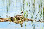 picture of grebe  - Nesting great crested grebe  - JPG