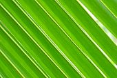 stock photo of coco  - Green coconut leaves - JPG