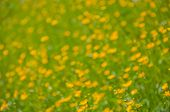 image of may-flower  - Bright blurred background with yellow and orange spring flowers and green grass. Sunny day. May - JPG
