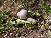 stock photo of garden snail  - A little snail in the garden at spring - JPG