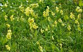foto of cowslip  - Yellow primrose flowers in green grass full frame - JPG