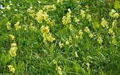 image of cowslip  - Yellow primrose flowers in green grass full frame - JPG