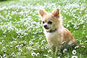 stock photo of chihuahua  - A Brown Chihuahua sitting on green grass - JPG