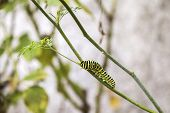 stock photo of transformation  - Papilio machaon butterfly larvae eating Ruta chalepensis plant.its the first transformation stage of The Old World Swallowtail a butterfly of the family Papilionidae.