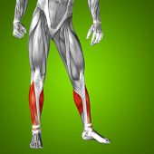 foto of human muscle  - Concept or conceptual 3D gastrocnemius human lower leg anatomy or anatomical and muscle on green gradient background - JPG