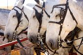 stock photo of blinders  - Three work mules with blinders on all seem to have their eyes closed - JPG