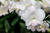 stock photo of blush  - Delicate white and pink Dendrobium Blushing orchid close up