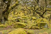 stock photo of contortion  - Image of twisted trees and moss covered rocks in Padley Gorge in the Peak District - JPG