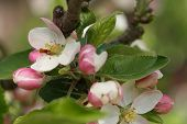 image of tree-flower  - Apple tree flowers-spring tree flowers in sunny day. ** Note: Shallow depth of field - JPG