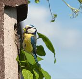 stock photo of tit  - Blue Tit at nest box with Made - JPG
