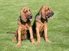 stock photo of bloodhound  - The portrait of pair of Bloodhound dogs in the garden  - JPG
