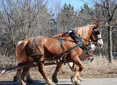 ponies in harness for a carriage