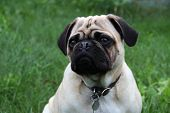 Purebred Pug Pup  on grass background poster