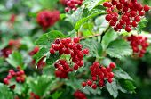 Red cranberry bush