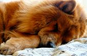 A Chow Chow Dog Sleeping
