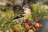 stock photo of crossbill  - White - JPG