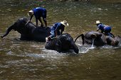CHIANG MAI, THAILAND - APRIL 23: Young elephants bathing in the river, guided by their handler.  April 23, 2009 in Thailand.