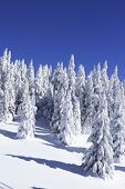 snow covered pine trees against blue sky