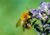 Honeybee On Blue Flower